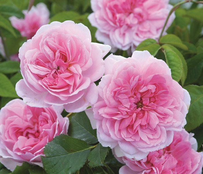 David Austin Roses – Tips, Tricks & Color Combos for a Stunning Garden
