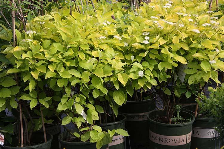 Churchill's Garden Center - Shop Monrovia