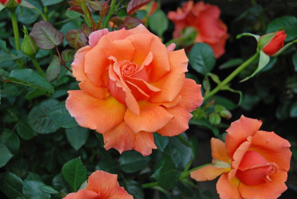 Churchill's Garden Center - Roses